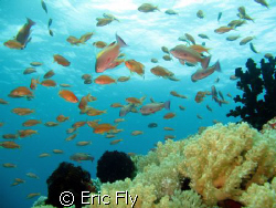 school of anthias, sombrero, anilao by Eric Fly