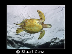 Green Sea Turtle. Taken on a rainy day in Hawaii. by Stuart Ganz