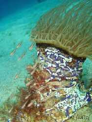 Tube anemone with a small school of glass gobies taken in... by Paz Maria De Vera-Santos
