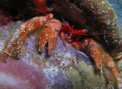 Another blue eyed wonder.  Hermit Crab by Juan Torres