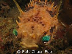 Those eyes....Porcupinefish Manado, North Sulawesi by Fatt Chuen Foo
