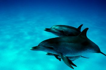 Wild Atlantic Spotted dolphins (stenella frontalis) while... by Ian Brooks