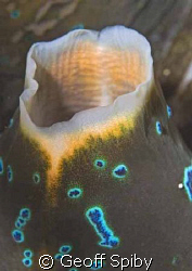 the delicate siphon of a giant clam by Geoff Spiby