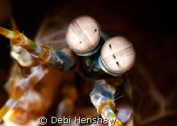 Close up of a Peacock Mantis Shrimp by Debi Henshaw