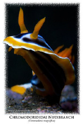 """""""Framed"""" (Chromodoris magnifica) - Tulamben, Bali (Canon ... by Marco Waagmeester"""