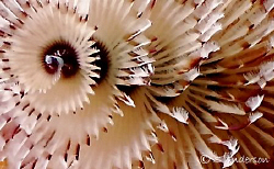 This photo of a Christmas Tree Worm has just been cropped... by Steven Anderson