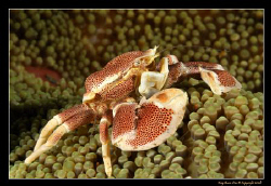 Porcelain Crab, D300, 105VR Macro by Kay Burn Lim