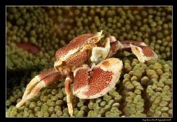 Porcelain Crab, D300, 105VR Macro by Kay Burn Lim