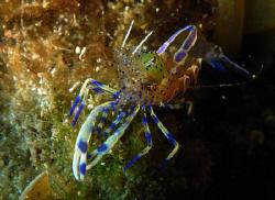 Ghost Shrimp Croatia by Andy Kutsch