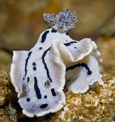Chromodoris willani photographed at Anilao in the South C... by Jim Chambers