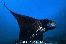 Black Manta ,Close encounter... by Tunc Yavuzdogan