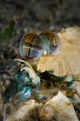Mantis Shrimps (Odontodactylus latirostris) by Michael Henke