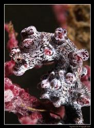 Hippocampus Bargarbanti, Pygmy Seahorse (Lembeh Straits)... by Kay Burn Lim