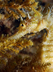 Seahorse in croatia. by Andy Kutsch