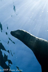 Female sea lion in the sun; La Paz, Mexico. Canon 400D by Susan Lunn