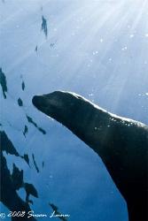 Female sea lion in the sun; La Paz, Mexico. Canon 400D by Susan Lunn