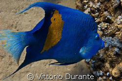 Angelfish by Vittorio Durante