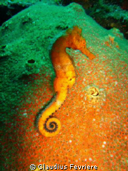 Seahorse at Rosemand's Trench by Claudius Fevriere