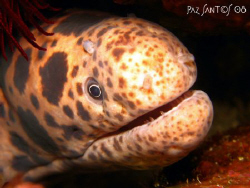 It took a while before this shy moray eel peered out of i... by Paz Maria De Vera-Santos