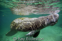 Manatee , At Crystal River FL by Ray Eccleston