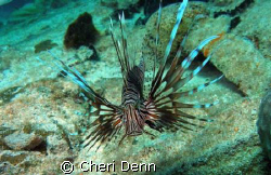 "Taken on Nekton Pilot dive site ""The Hesperus""  Lion Fish... by Cheri Denn"