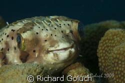 Balloonfish -Bonaire canon 5D 100 mm macro by Richard Goluch