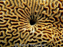 coral by Hamid Sayyaran