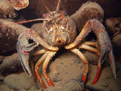 Ready to fight ?? Crayfish dont like divers...brrr by Sylvain Kuster