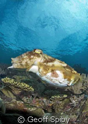 very large cuttlefish