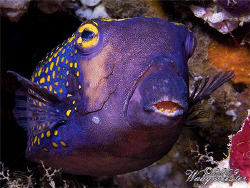 Spotted Boxfish (Ostracion meleagris) - Crystal Bay, Bali... by Marco Waagmeester