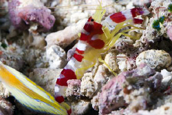 Red and White striped shrimp next to the tail of a flagta... by Erika Antoniazzo