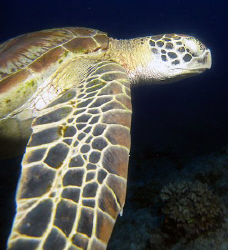 One eyed green turtle- explains why I could get this shot by Martin Dalsaso