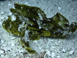 Leaf Scorpion fish of the green variety.  Not rare but ha... by Jim Mcguire