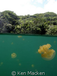 Jellyfish lake Palau. Surrounded by millions of jellyfish by Ken Macken