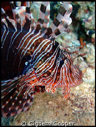 Common Lionfish. by Cigdem Cooper