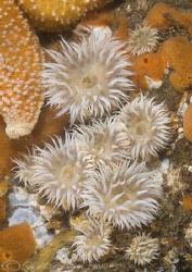 Actinothoe sphyrodeta. Menai straits. D200, 60mm. by Derek Haslam