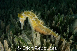 Seahorse in the seagrass.