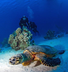 Turtle in the red sea by Andy Kutsch