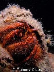 A very red hermit crab under the Ammo Jetty, Perth Wester... by Tammy Gibbs