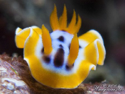 Right in my lens, Chromodorididae nudibranch - Nusa Penid... by Marco Waagmeester