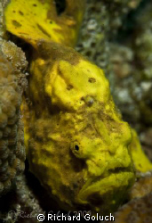 Frogfish-Bonaire-Canon 5D 100 mm macro by Richard Goluch