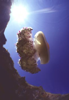 Cothyloriza tubercolata - Panarea island, Sicily, Italy -... by Mauro Serafini