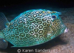 Cowfish on a night dive.  You can see the scratches on th... by Karen Sanders