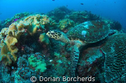 Hawksbill Turtle at Peter's Patch by Dorian Borcherds