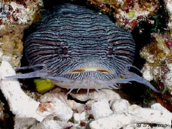 The Splendid Toadfish, a fish native to the waters off Co... by Steven Anderson