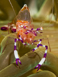 Anemone Shrimp (Periclimenes holthuisi) from Anilao. by Jim Chambers
