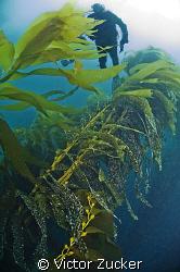 kelp diver by Victor Zucker