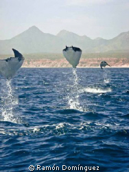 A specie of mobula, also known as flying manta. I bet you... by Ramón Domínguez