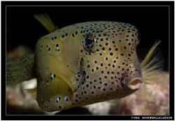 Yellow boxfish close-up    Fuji S5 Pro/105 VR by Yves Antoniazzo