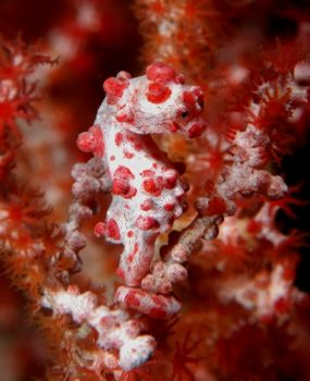 Pygmy seahorse taken in Wakatobi.  I used a Nikon D100 wi... by David Stephens